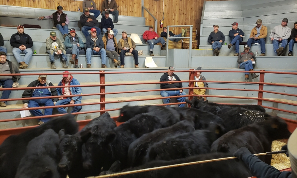 More black cattle in ring